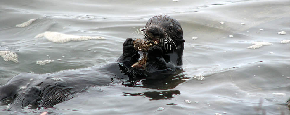Caring for Oiled Otters